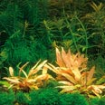 In-Vitro-Aquariumpflanze Dennerle: Cryptocoryne spec. Flamingo  1 Stk.