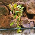 Ludwigia repens Wasserpflanze