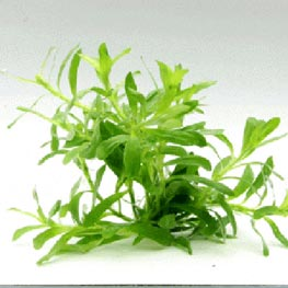 In-Vitro-Aquariumpflanze Dennerle Heteranthera zosterfolia In Vitro
